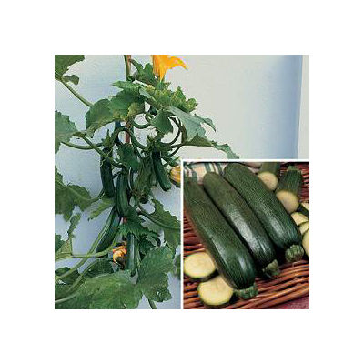 where to buy zucchini 39 black forest 39 cucurbita pepo var cylindrica plants and seeds folia. Black Bedroom Furniture Sets. Home Design Ideas
